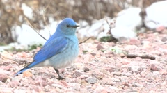 Mountain Bluebird Male Spring Stock Footage