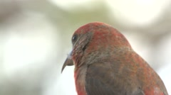 Red Crossbill Male Lone Spring Closeup Stock Footage