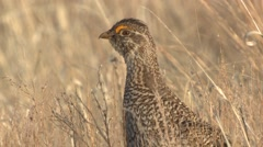 Sharp-tailed Grouse Lone Spring Closeup Stock Footage