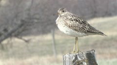 Upland Plover Lone Spring Sandpiper Stock Footage