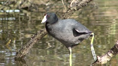 Coot Lone Resting Winter Stock Footage