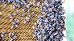 Honey Bees Close Up on Comb HD.mp4 Stock Footage