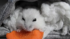 Hamsters eating carrots Stock Footage
