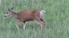 Doe Deer Feeding in Field Stock Footage