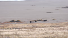 Bison roaming through salt flats Stock Footage