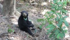 Borneo Sunbear Sanctuary Rescue centre Malaysia Stock Footage