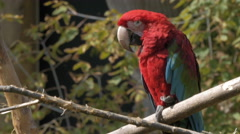 Red tailed macaw perched on a branch. Stock Footage