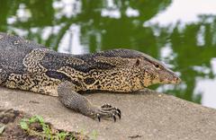 Closeup of monitor lizard varanus Stock Photos
