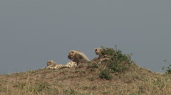 Cheetah mother grooming some of her cubs Stock Footage