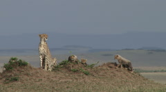Stock Video Footage of cheetah mother sitting on an anthill with cubs
