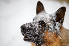 Close-up German shepherd with snout in snow Stock Photos