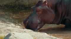 Hippo wades onto shore Stock Footage