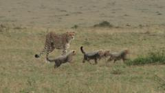 Stock Video Footage of cheetah mother walks with her cubs