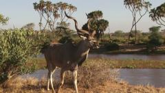 Close up a greater male kudu Stock Footage