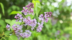 Branch with spring lilac flowers Stock Footage