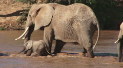 Elephant mother helps a baby to cross a river Stock Footage