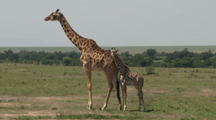 Giraffe resting with her baby Stock Footage