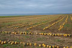 pumpkin ield - stock photo
