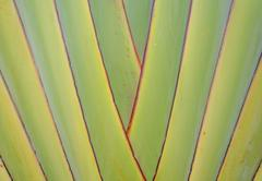 Ribbed leaf or scientific name is travellers palm Stock Photos