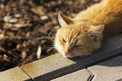 redheaded cat basking in the sun - stock photo