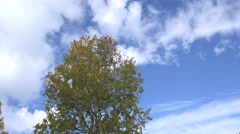 Leaves of an aspen tree Stock Footage