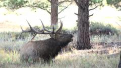 Elk Laying down and bugling - stock footage