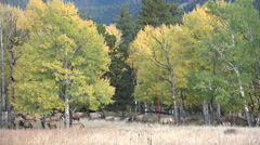 Elk and aspen trees Stock Footage