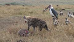 Hyena leaves a kill for the vultures Stock Footage