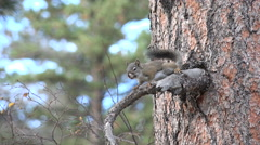 Pine Squirrel Stock Footage