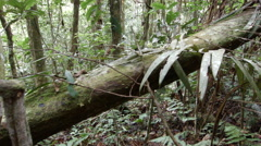 Tracking down a fallen tree trunk in tropical rainforest, Ecuador Stock Footage