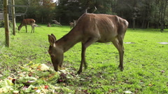 Family of deer. - stock footage