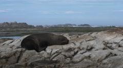 nz fur seal close up - stock footage