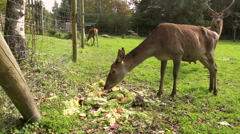 Family of deer. Stock Footage