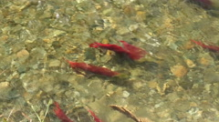 Adams River Sockeye Salmon Spawning Pair Stock Footage