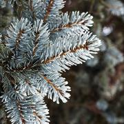 Twig of conifer Stock Photos