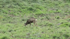 Four point buck in a field Stock Footage