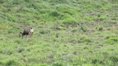 a four point mule deer buck in a field - stock footage