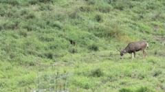 four point mule deer buck in a field - stock footage