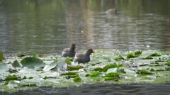 Water hen on the lake with water lily Stock Footage