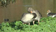 A pair of Greylag geese preening  in St James's Park, London, UK. Stock Footage