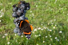red admiral eating grapes - stock photo