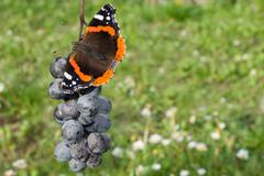 Red admiral eating grapes Stock Photos