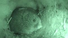 Prairie Vole Winter Snow Tunnel Infrared Stock Footage