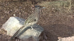 Roadrunner Lone Winter Stock Footage