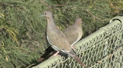 White-winged Dove Winter Stock Footage