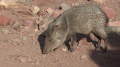 Javelina Lone Winter Peccary Stock Footage