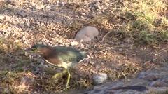 Green Heron Feeding Winter Stock Footage