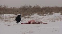 Crow Pair Feeding Winter Stock Footage