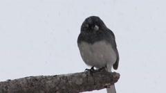 Junco Winter Snow Blizzard Stock Footage