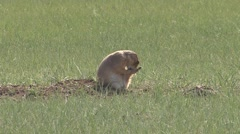 Black-tailed Prairie Dog Lone Grooming Spring Falling Humor - stock footage